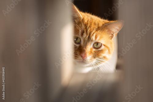 Fotografiet Curious Ginger cat close up portrait