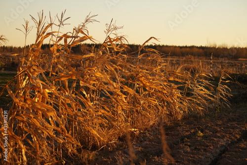 Fotografiet wheat field at sunset