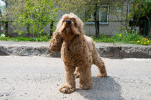 Curly-haired Cocker Spaniel Walking On A Sunny Day