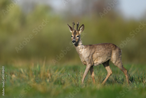 Fotografie, Obraz Roe deer male ( Capreolus capreolus )