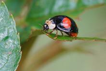 Closeup Of The Black Form Of The Asian Ladybeetle, Harmonia Axiridis