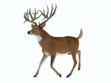 Whitetail Trophy Deer - The White Tailed Deer Lives In Herds In North And South America And Is An Abundant Wildlife Animal.