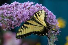 Beautiful Yellow Butterfly Sitting On A Purple Flower