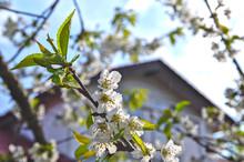 晴れた日の家の庭に咲いた桜の花。
