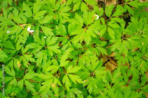 Fotografie, Obraz Closeup shot of green daphne leaves