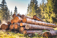Log Spruce Trunks Pile. Sawn Trees From The Forest. Logging Timber Wood Industry. Cut Trees Along A Road Prepared For Removal.