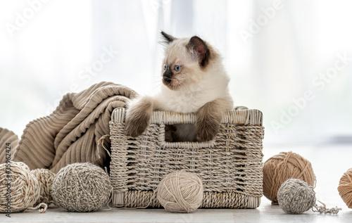 Ragdoll kitten in the basket with yarn Fototapeta