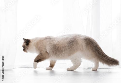 Fotografija Ragdoll cat portrait