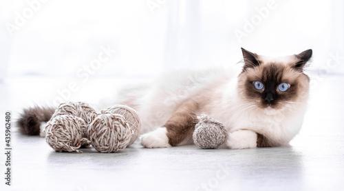 Fotografie, Obraz Ragdoll cat portrait