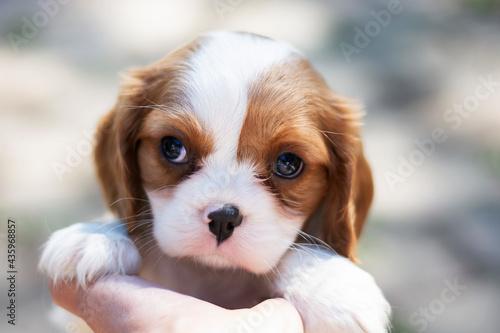 Fototapeta Little  Purebred cute puppy Cavalier King Charles Spaniel