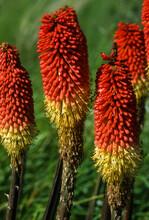 Faux Aloes, Kniphofia Galpinü