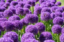 Close Up On Colorful Purple Pom-pom Or Allium Flowers