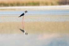 Red Stork