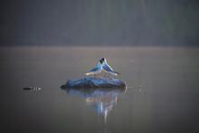 Beautiful Pair Of Black-headed Gulls Stand On Stone