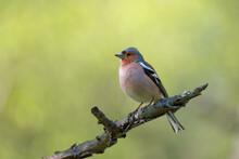 Cute Common Chaffinch Bird Sitting On Tree Branch