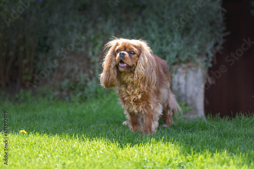 Obraz na plátně Cavalier spaniel on the grass