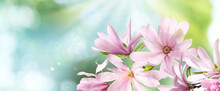 Beautiful Pink Magnolia Flowers Outdoors, Banner Design. Amazing Spring Blossom