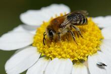 Plasterer Bee (Colletes Sp.) On A Flower