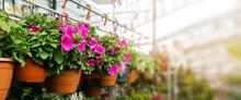 Petunia Flower Pots Hanging In Ornamental Garden Plant Shop. Banner Copy Space