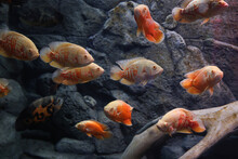 Different Tropical Fishes Swimming In Clear Aquarium
