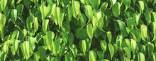 Fresh Green Foliage Background. Natural Leaves Pattern