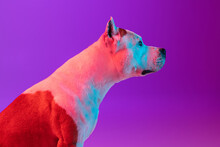 Side View. Close Up Portrait Of Purebred Dog Staffordshire Terrier Isolated Over Studio Background In Neon Gradient Pink Purple Light.