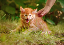 One Beautiful Ginger Maine Coon Scared Kittens Hissing And Hunting  On The Green Glass And Looking On Summer Sunny Weather Background. Fun