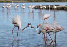 Pink Flamingos, Phoenicopterus Roseus, Flamants Roses.  Camargue, France