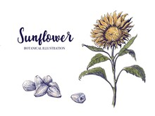 Hand Drawn Sunflower Illustration Isolated On White Background With Sunflower Plant And Seeds. For Packaging Design And Print.