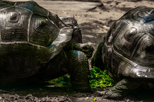 Two Aldabra Giant Tortoise Living At The Madras Crocodile Bank Trust And Centre For Herpetology, ECR Chennai, Tamilnadu, South India