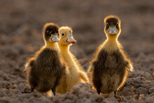 Ducks Are Wonderfully Hardy, Inexpensive, And Easy To Care For. They Can Live Up To 20 Years And Make Gentle And Amusing Pets.  NEVER Keep Just One Duck; This Is Cruel. Ducks Are Highly Social Animal