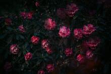 Secret Garden, Summer Flowers Of Azalea, Rhododendron, Natural Treasures.