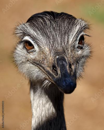 closeup of an emu Fototapeta