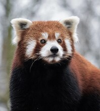 Red Panda Sits On A Log