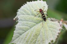 Red Headed Ash Borer On A Grape Leaf