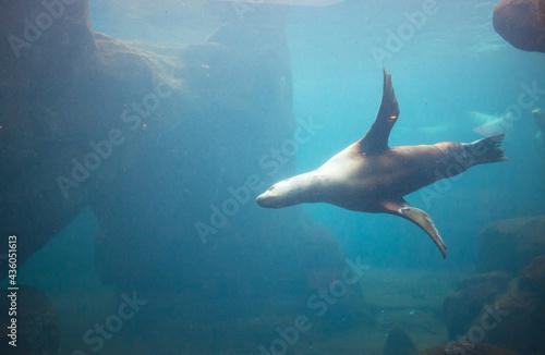 Fotografering Seal in aquarium