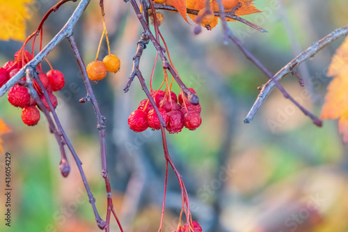 Fototapeta Autumn hawthorn branch with red berries and yellow green leaves on a blury background