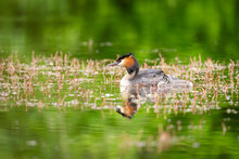 Great Crested Grebe (Podiceps Cristatus) Waterbird Swimming On Water In Mating Season.