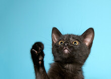 Close Up Of A Black Tabby Kitten Looking Up With One Paw Reaching Up. Turquoise Blue Background With Copy Space.