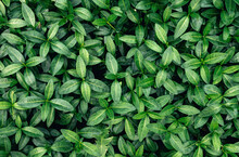 Beautiful Juicy And Fresh Leaves