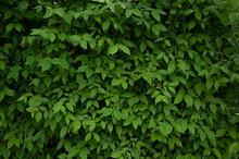 Beautiful Background Of Dense Fresh Leaves