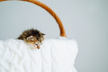 Two-weeks-old Tricolor Crossbreed Kitten With Barely Opened Blue Eyes Sit In Pink Wicker Basket On White Wool Sweater. Pet Adoption, Animal Care.