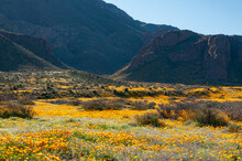 A Heavy Carpet Of Yellow Mexican Poppies In A Good Year In The Franklin Mountains Of El Paso, Texas.