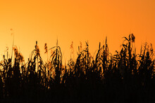Beautiful Golden Sunset In Etosha National Park, Namibia - Silhouette Of Reed Grass Against Golden Sky