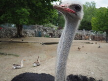 African Ostrich, Masai Ostrich, Stretched Out Its Neck. The Largest Of The Modern Birds. Struthio Camelus, A Ratite Flightless Bird Of The Struthionidae Ostrich Family