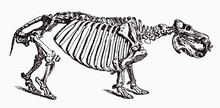 Skeleton Of Threatened Hippopotamus Amphibius In Profile View, After Antique Engraving From The 19th Century