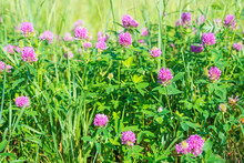 Wonderful Blooming Clover With Pink Flowers And Lush Green Grass Grow On Large Wild Meadow On Sunny Spring Day Close View