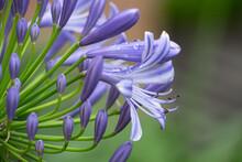 アガパンサスの花のアップ