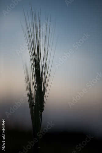 Canvas Barley Field at sunset