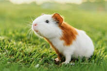 Little Guinea Pig In Summer